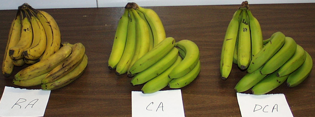 Effect of DCA on banana - History